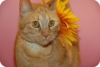 Domestic Shorthair Cat for adoption in Flower Mound, Texas - Mia