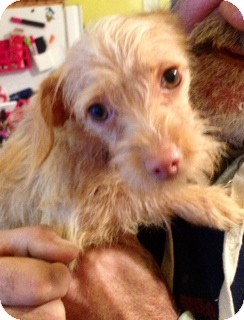 Dachshund/Chihuahua Mix Puppy for adoption in waterbury, Connecticut - April