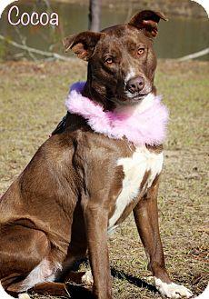 Labrador Retriever/Chesapeake Bay Retriever Mix Dog for adoption in Wilmington, Delaware - Cocoa