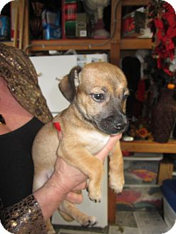 Dachshund/Terrier (Unknown Type, Small) Mix Puppy for adoption in Bellingham, Washington - Bandit