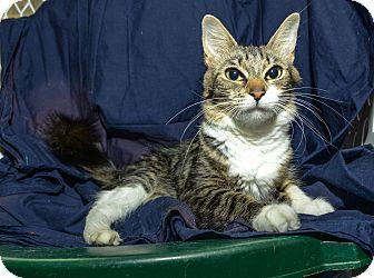 Domestic Mediumhair Cat for adoption in New York, New York - Michaela