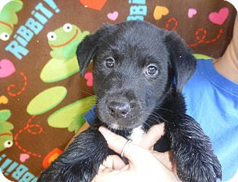 Golden Retriever/Labrador Retriever Mix Puppy for adoption in Oviedo, Florida - Cameo