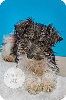 Schnauzer (Miniature)/Poodle (Miniature) Mix Puppy for adoption in Brookings, South Dakota - Cody