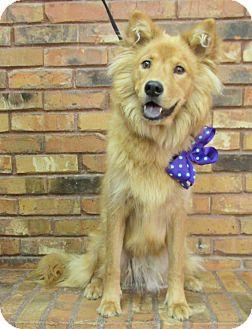 Chow Chow Mix Dog for adoption in Benbrook, Texas - Princess