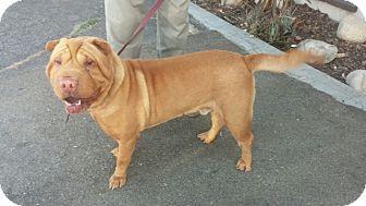 Shar Pei Dog for adoption in Apple Valley, California - Koby - adoption pending
