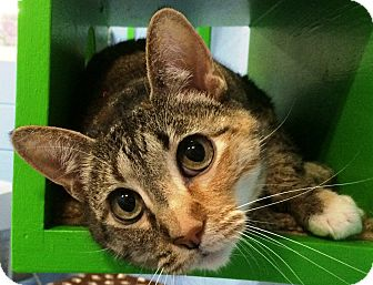 Calico Cat for adoption in Fruit Heights, Utah - Dixie