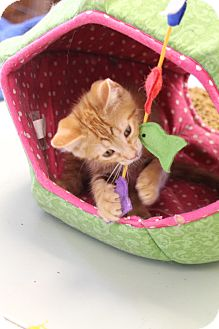 Domestic Shorthair Kitten for adoption in Homewood, Alabama - Puss N Boots