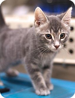 Domestic Shorthair Kitten for adoption in Sacramento, California - Smokey