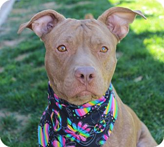 American Pit Bull Terrier Mix Dog for adoption in Las Vegas, Nevada - BOO (CAT FRIENDLY)