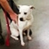 Dalmatian/Boxer Mix Dog for adoption in Midlothian, Virginia - Electra