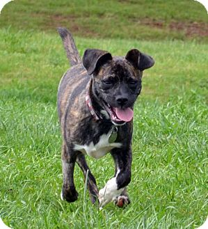 Boxer/Boston Terrier Mix Dog for adoption in Knoxville, Tennessee - Lena