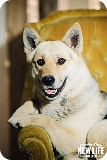Siberian Husky/German Shepherd Dog Mix Dog for adoption in Portland, Oregon - Woody