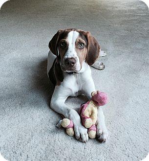 Hound (Unknown Type) Mix Puppy for adoption in Mantua, New Jersey - Ranger