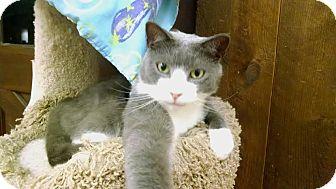 Domestic Shorthair Cat for adoption in Acushnet, Massachusetts - Buster