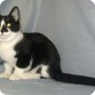 Domestic Shorthair Cat for adoption in Powell, Ohio - Seymour