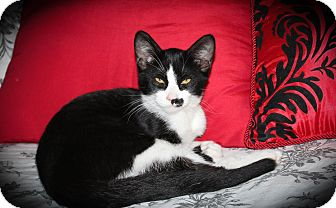 Domestic Shorthair Cat for adoption in Hamilton., Ontario - Delilah