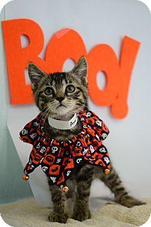 Domestic Shorthair Kitten for adoption in Bradenton, Florida - American Pharoah