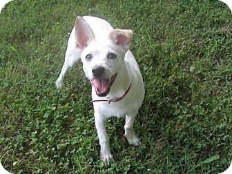 Jack Russell Terrier Mix Puppy for adoption in Foster, Rhode Island - Charlie