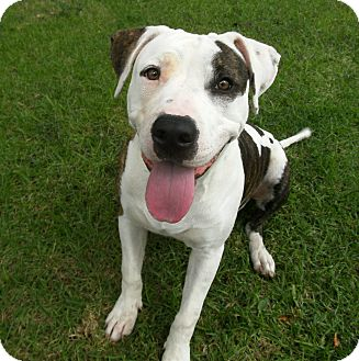 Pit Bull Terrier Mix Dog for adoption in El Cajon, California - Petie