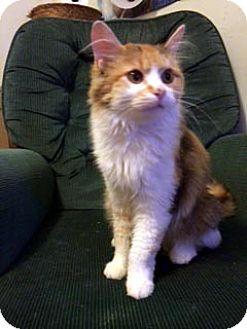 Calico Cat for adoption in Overland Park, Kansas - Bonnie