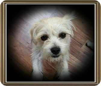 Wirehaired Fox Terrier/Terrier (Unknown Type, Small) Mix Dog for adoption in Richmond, California - Bonnie