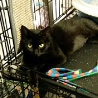 Domestic Shorthair Cat for adoption in St. Cloud, Florida - Minnie
