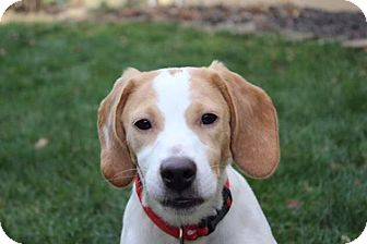 Beagle Mix Puppy for adoption in Ardsley, New York - Charlie