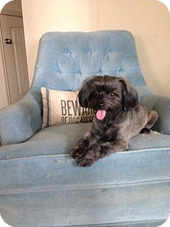 Lhasa Apso Mix Dog for adoption in Spring, Texas - Muffin