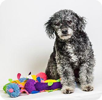 Poodle (Miniature) Mix Dog for adoption in Yelm, Washington - Emma
