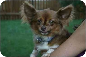 Chihuahua Dog for adoption in Chesapeake, Virginia - Cameron