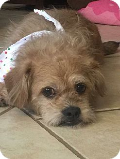 Terrier (Unknown Type, Small) Mix Dog for adoption in Oviedo, Florida - Frankie