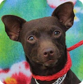 Chihuahua Mix Dog for adoption in Red Bluff, California - CAPPY:Low fees neutered