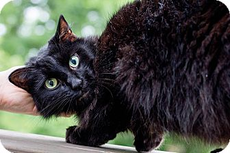 Domestic Longhair Cat for adoption in Cincinnati, Ohio - Casper- WAIVED FEE