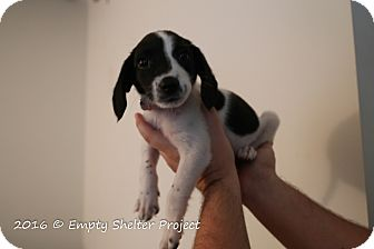 Pointer Mix Puppy for adoption in Manassas, Virginia - Howlie
