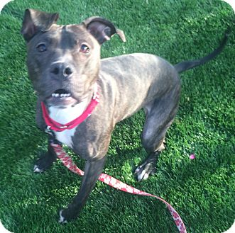 Pit Bull Terrier/Whippet Mix Dog for adoption in Oak Ridge, New Jersey - Dorothy-URGENT!