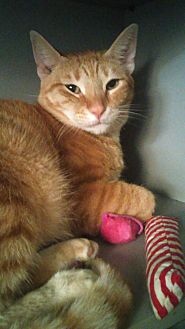 Domestic Shorthair Cat for adoption in Island Park, New York - Noah