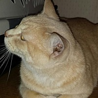 American Shorthair Cat for adoption in Manchester, Tennessee - Ronald