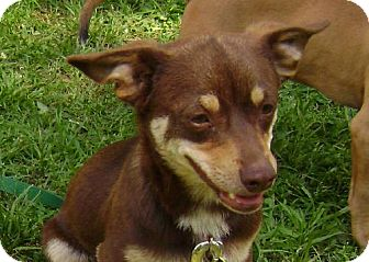 Chihuahua/Jack Russell Terrier Mix Dog for adoption in Guthrie, Oklahoma - Cheeko