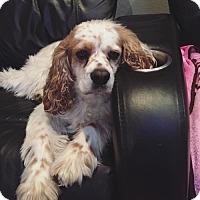 Adopt A Pet :: Charlie - Corona, CA