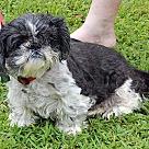 Adopt A Pet :: Taz (12 lb) Golden Soul