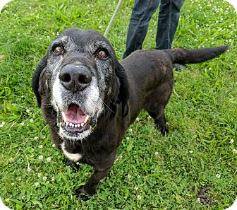 Labrador Retriever/Hound (Unknown Type) Mix Dog for adoption in Breinigsville, Pennsylvania - Lugnut