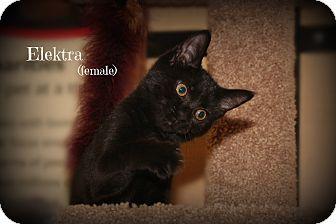 Domestic Shorthair Kitten for adoption in Springfield, Pennsylvania - Elektra