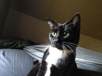 Domestic Shorthair Cat for adoption in Battle Ground, Washington - Henry