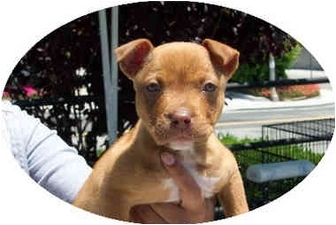 German Shepherd Dog/American Pit Bull Terrier Mix Dog for adoption in West Los Angeles, California - Amelia