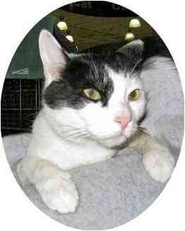 Domestic Shorthair Cat for adoption in Stafford, Virginia - Trouble