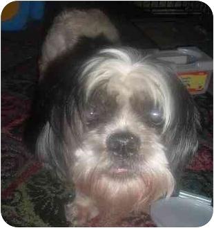Shih Tzu Mix Dog for adoption in Homer, New York - Mr. Magoo