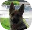 German Shepherd Dog Dog for adoption in Toronto, Ontario - Monty