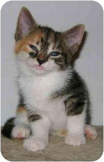 Domestic Shorthair Kitten for adoption in Etobicoke, Ontario - Calico kitten