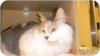 Maine Coon Cat for adoption in Howell, New Jersey - Lady Jane