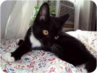 Domestic Shorthair Kitten for adoption in Toronto, Ontario - Ace